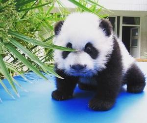 animals, panda, and love image