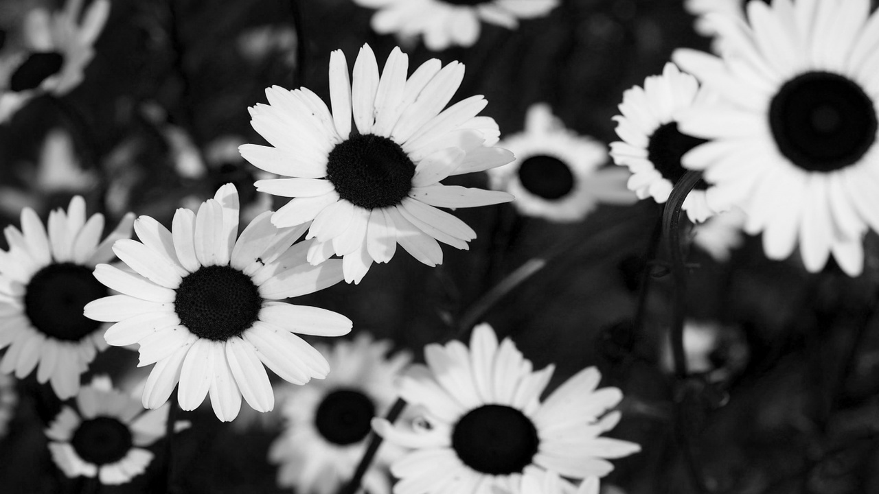 Sunflowers Black And White