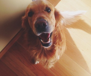 beautiful, golden, and retriever image