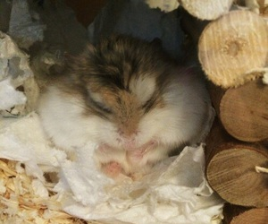 animals, fluffy, and hamster image