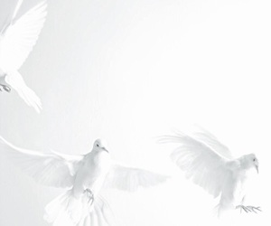 white, dove, and bird image