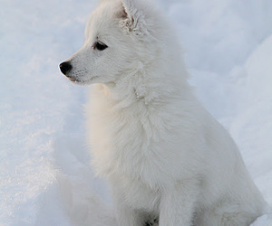 snow, wolf, and dog image