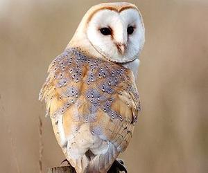 barn owl, beautiful, and bird image