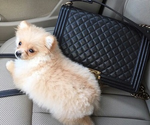 chanel, dog, and cute image