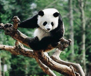nature, forest, and panda image