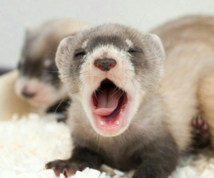 animal, ferret, and yawn image