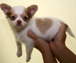 puppy, cute, and heart image