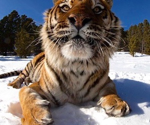 animal, tiger, and snow image