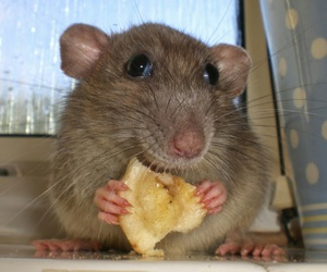adorable, rat, and cute image