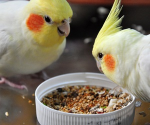 bird and cockatiel image