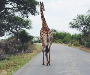 giraffe, life, and national park image