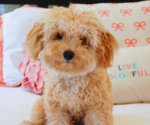 adorable, lovely, and poodle image