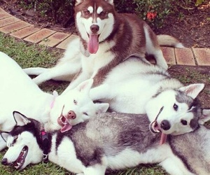 dogs, huskies, and smiles image