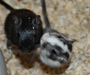 animals, gerbil, and mice image