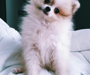 pomeranian, puppy, and cute image