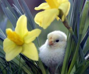 flowers, spring, and Chick image