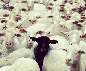 sheep, black, and black sheep image