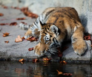 tiger, photography, and water image
