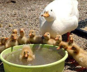 duck, family, and animal image