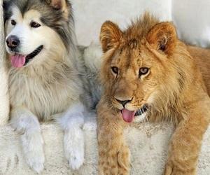 lion, animal, and husky image