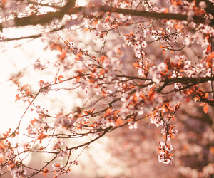 cherry blossom, wallpaper, and nature image