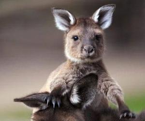 kangaroo, australia, and animal image