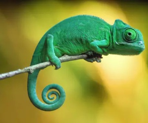 chameleon and nature image