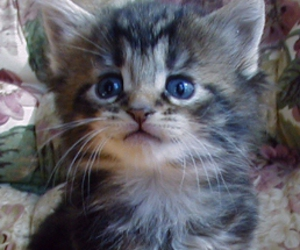 adorable, maine coon, and baby image