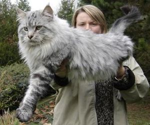 cat, large, and fluffy image