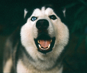 dog, husky, and eyes image