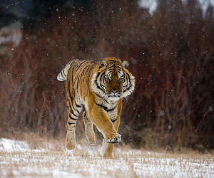 snow, tiger, and tigre image
