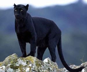 black panther, nature, and pantera image
