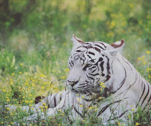 animals, big cats, and cats image