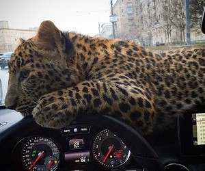 car, Hot, and leopard image