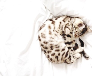 cat and leopard image