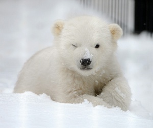 animal, cute, and Polar Bear image