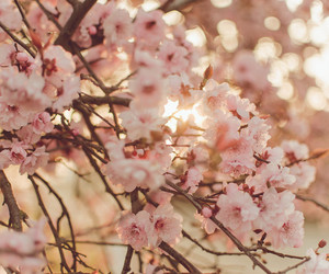 cherry blossom, flowers, and pink image