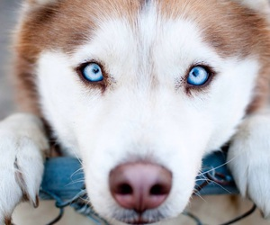 dog, husky, and eyes image