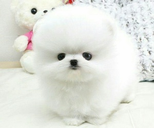 adorable, fluffy, and pomeranian image