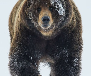 animals, grizzly, and snow image
