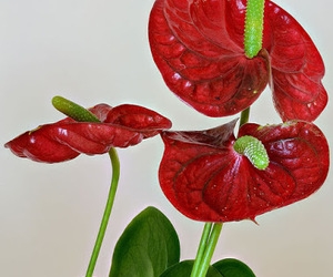 flowers, red, and anthurium image