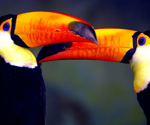 toucans image