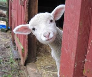 lamb and cute image