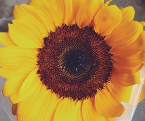 beautiful, flower, and sunflower image