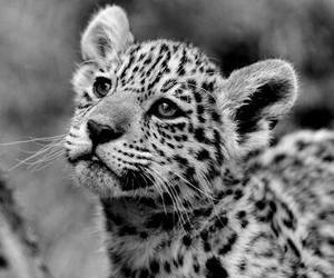 cute, animal, and black and white image