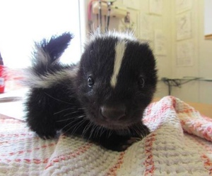 cute, animal, and skunk image