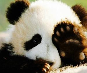 gigante, panda, and full colour image