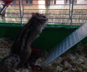 squirrel, bonny, and siberian image