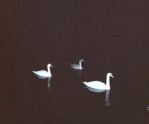 Swan, grunge, and black image