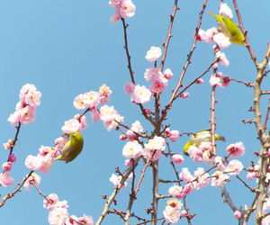 japan, plum blossoms, and tokyo image